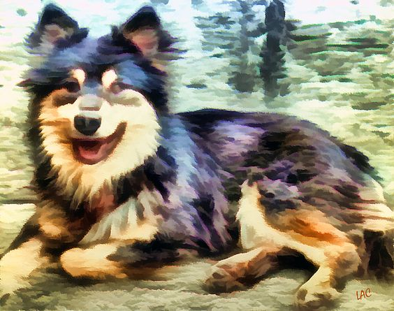 Finnish Lapphund,purebred dog,shawl,mane,coat