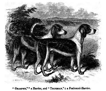 Harrier,hound,hunting dog,scenthound,foxhound,dog,purebred dog