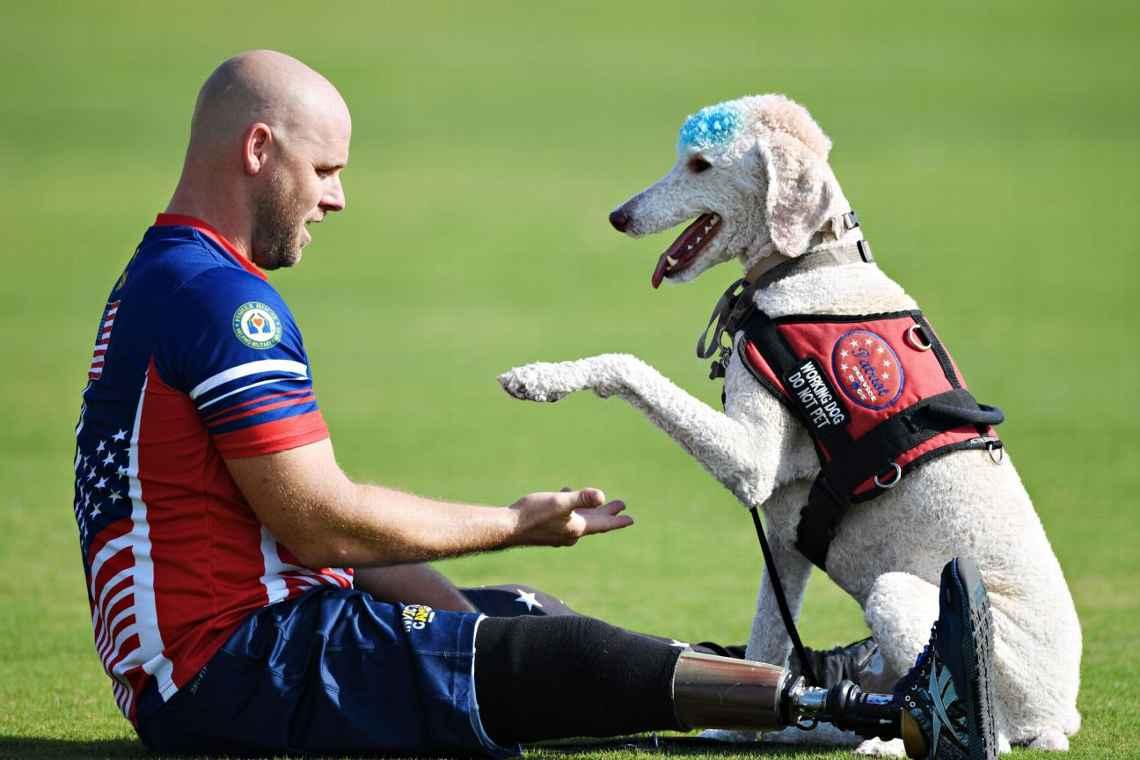 service dog,Poodle,dogs,purebred dog,