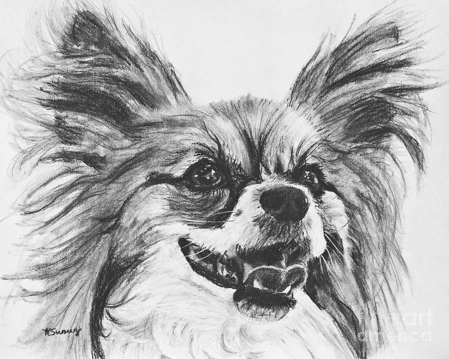 papillon,akc,purebred dog