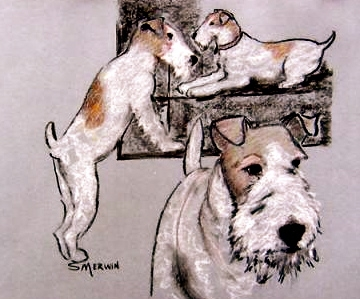 Wire Fox Terrier,dogs,purebred dog,AKC