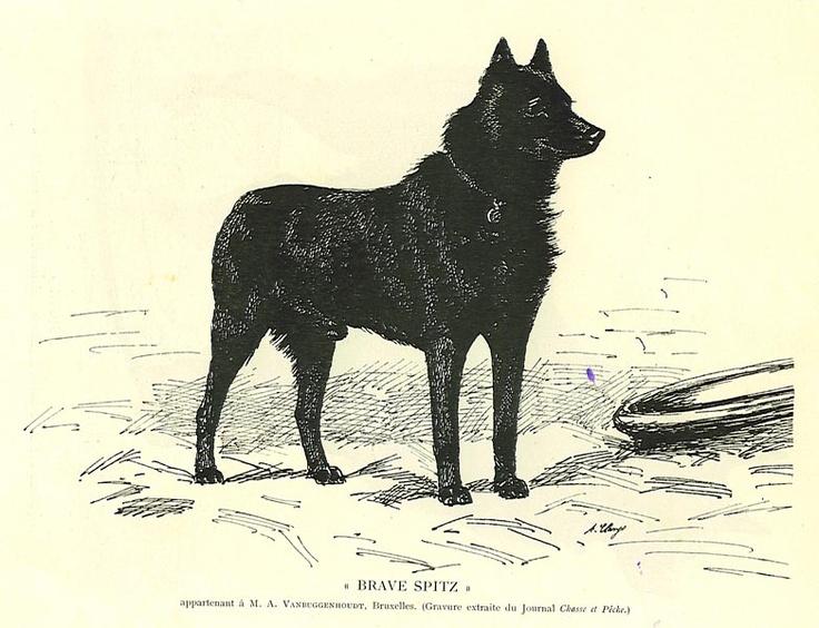 Schipperke,Spitske,breed,history,history,Queen Marie Henriette,Leauvenaar,barge dog,