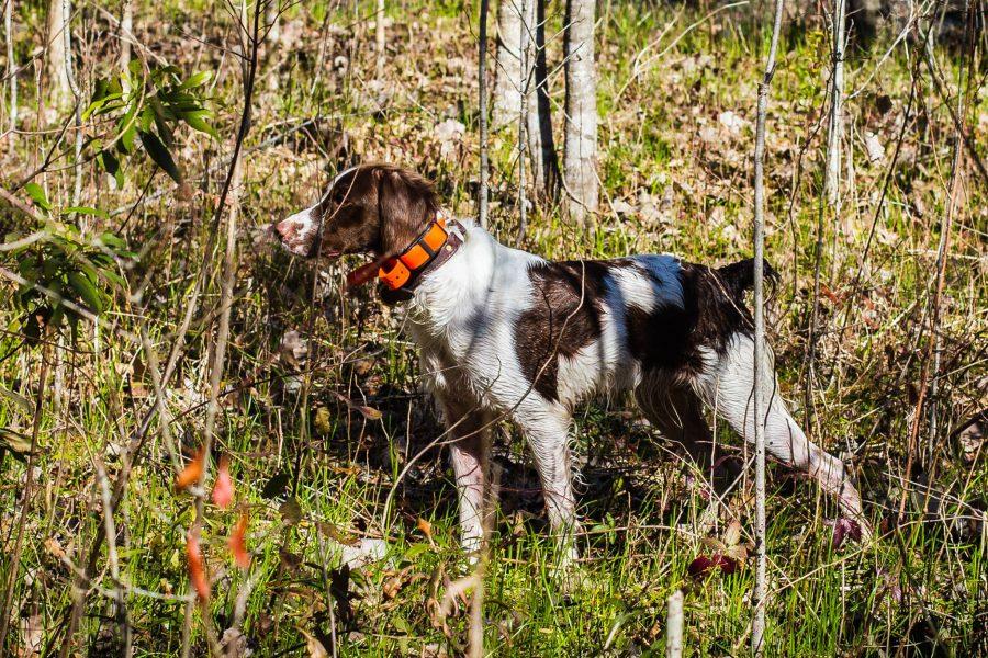 brittany,hunting dog