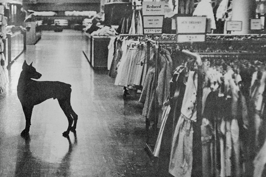 doberman pinscher,macy's, Look Magazine