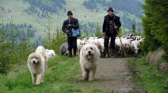Romanian Baracul,Romanian Shepherd Dog,Romanian Mioritic Shepherd Dog,Livestock Guardian Dog,