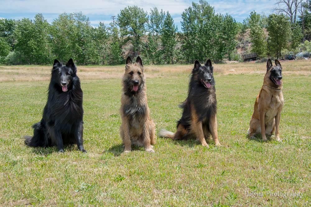 Belgian Sheepdog,Groenendael,Laekenois,Belgian Tervuren,Belgian Malinois,herding dogs