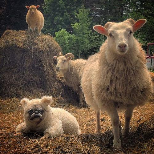 pug,herding dog,livestock guardian dog,sheep