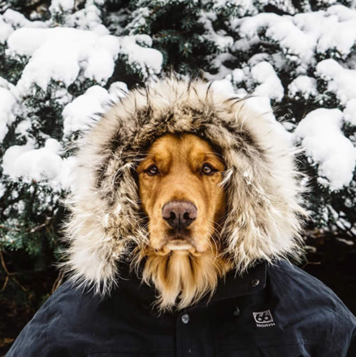 Golden Retriever,dogs of instagram,instagram,social media