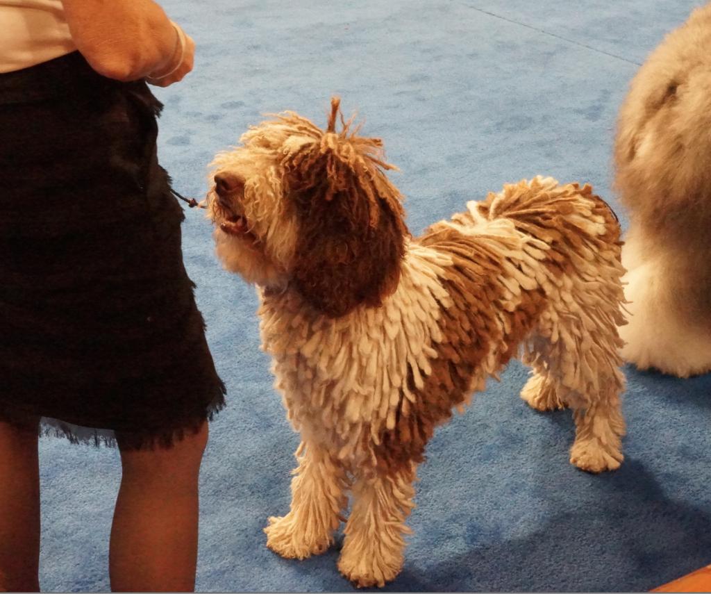 Spanish Water Dog,corded coat,cords,hair,coat