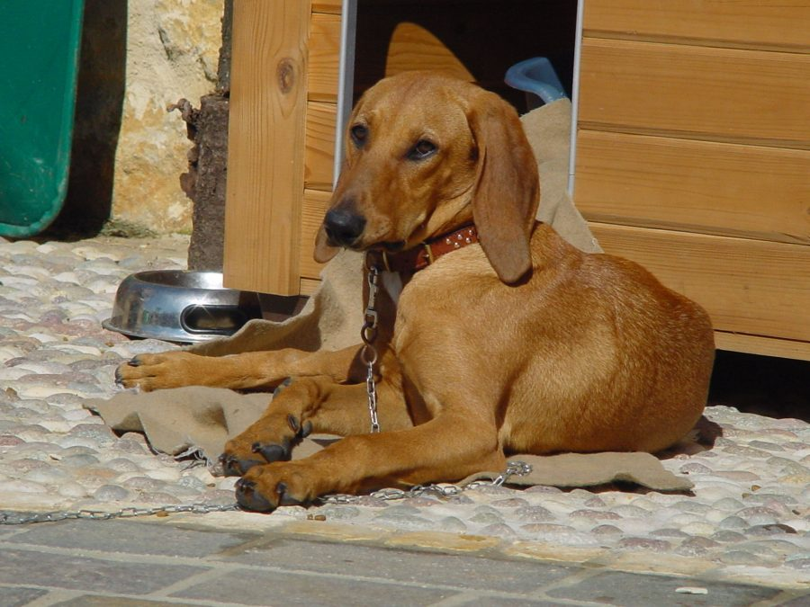 Segugio Italiano,italian hound