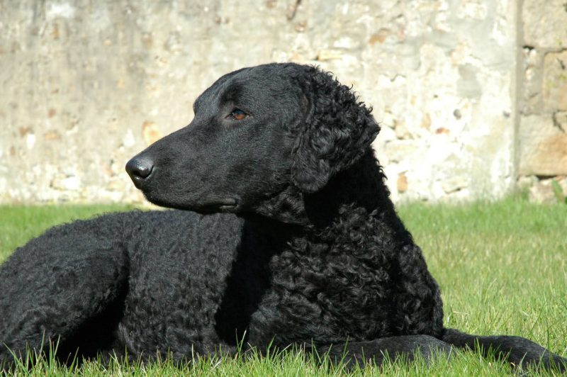 Curly Coated Retriever,hunting dog,