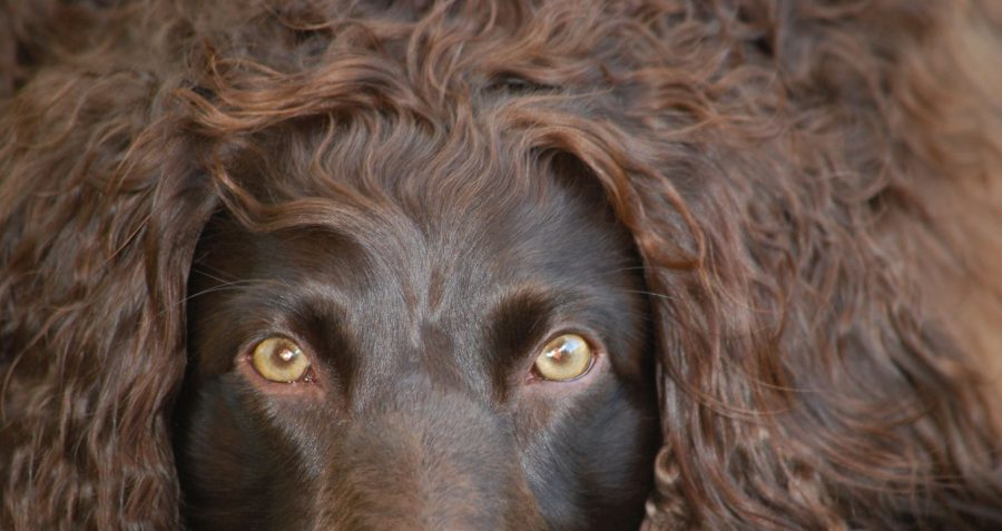 Boykin Spaniel,Boykin,turkey dog,spaniel,hunting dog,