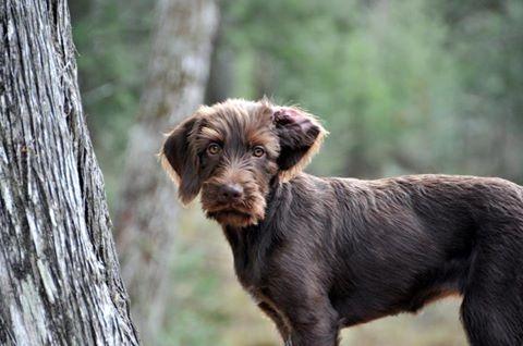 Pudelpointer,hunting dog,labrador retriever,german wirehaired retriever
