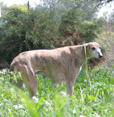 Azawakh,sighthound,hound,Sahel Sighthound,fat,skinny,
