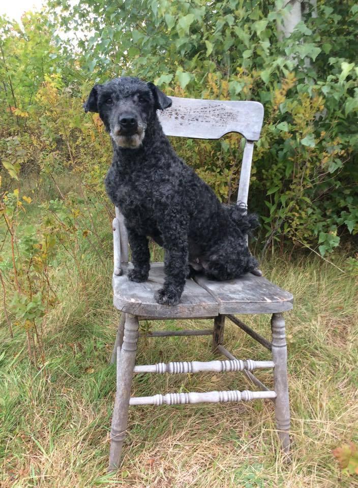 puli,cords,coat,corded dog