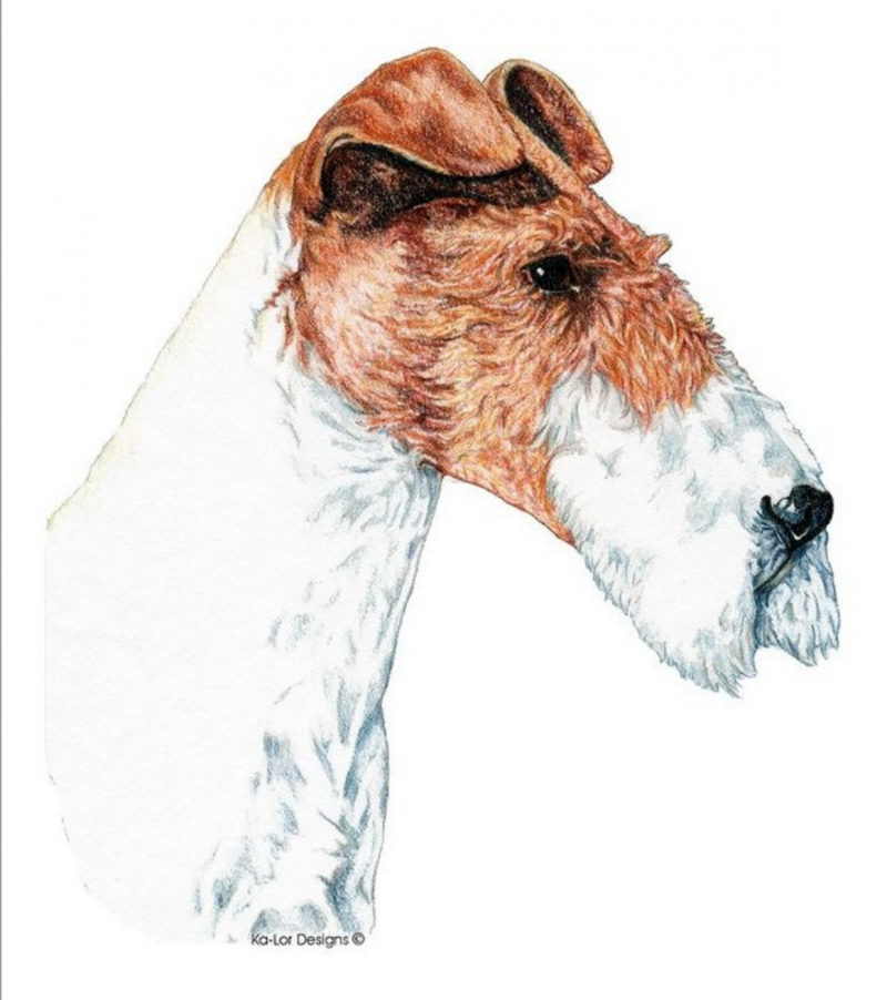 fox terrier,Head,standard,Unfinished Head