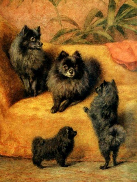 Puff,Tuft,Pomeranian,collective noun,Pom