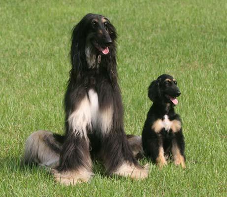 Snuppy,clone,afghan hound, labrador retriever,