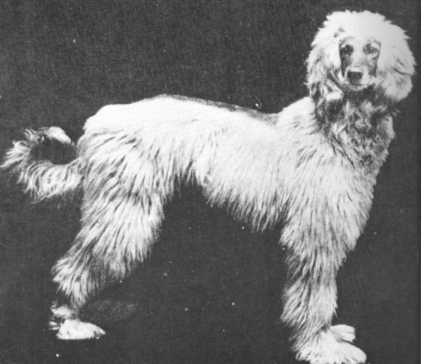 Zardin,afghan hound,persian greyhound,history,breed history