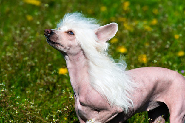 chinese crested hairless,poodle,pink,color