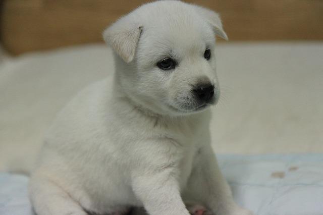Jindo Dog,Korean Jindo,Chindo,Jindo Gae,JindoGae,Jin dog
