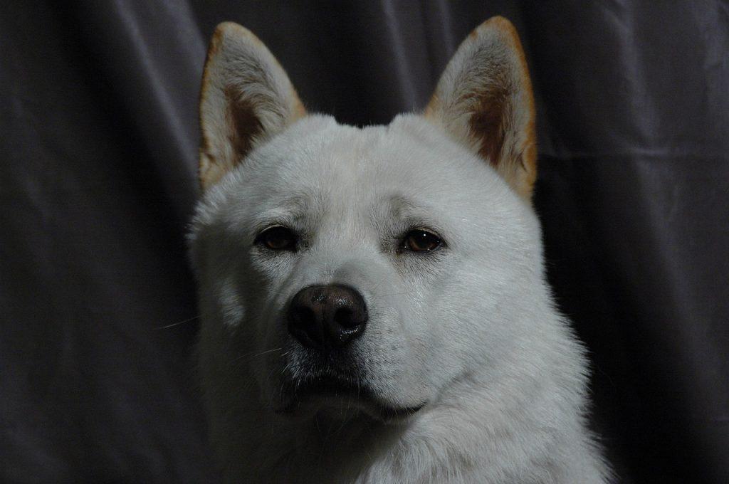 Jindo Dog,Korean Jindo,Chindo,Jindo Gae,JindoGae, Jin dog,jindo