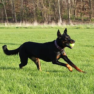 Beauceron,nickname,country gentleman,Red Stocking,feet,color