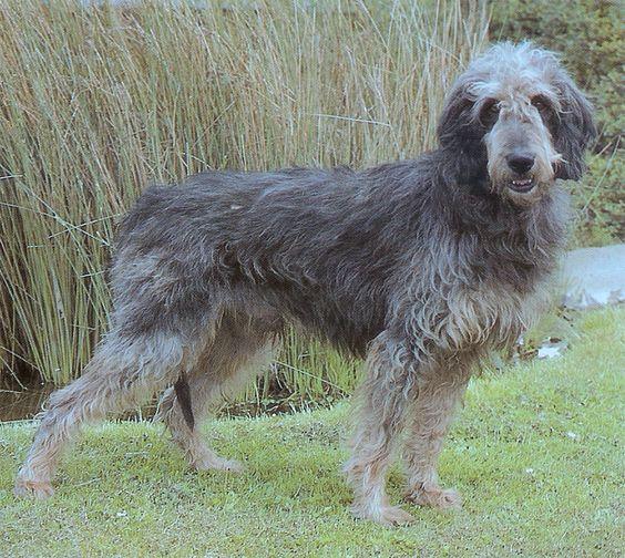 Griffon Nivernais,otterhound,scenthound,hound,