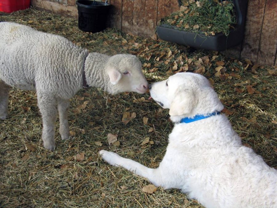 Kuvasz,LGD,Livestock Guardian Dog