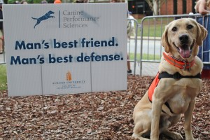 Labrador Retriever,Auburn University,Canine Performance Sciences Program, detection dog, bomb sniffing dog, vapor wake,