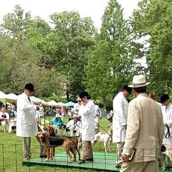The Virginia Foxhound Show American Foxhound Strains