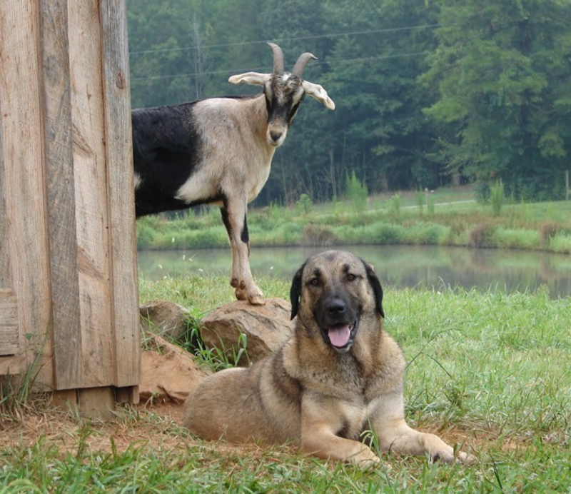 Kangal Dog,Boz Dog,Turkish Boz Shepherd,Akbash,Turkish Mastiff,