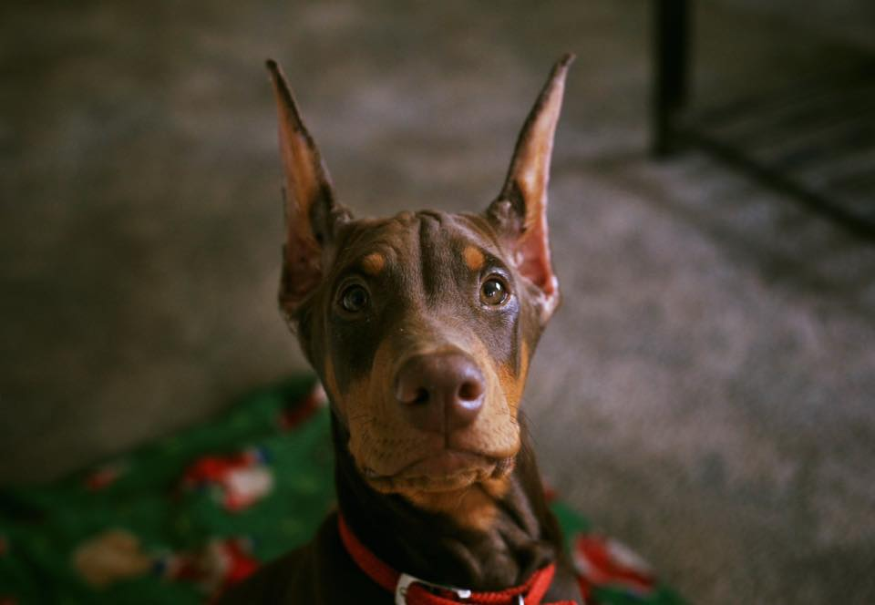 Doberman Pinscher,Monday,Monday Morning