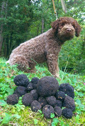 Lagotto Romagnolo,spaniel,Beagle,Poodle,Dachshund,Retriever,truffle,