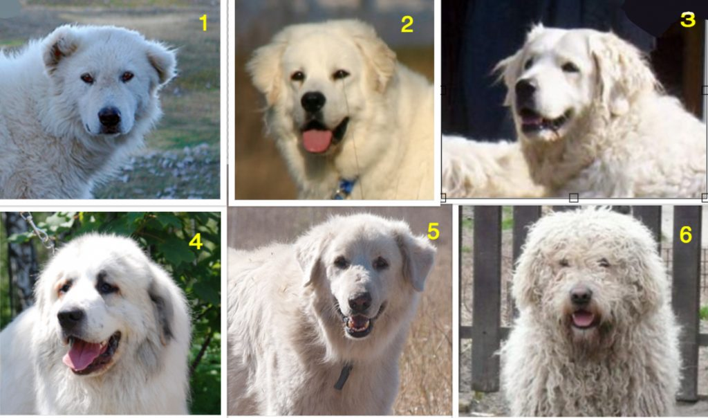 How Well Do You Know Your Lgd Breeds