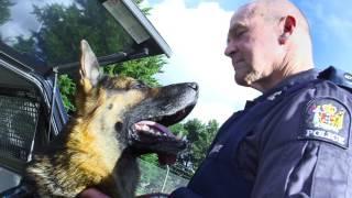 police dog,vest,german shepherd dog