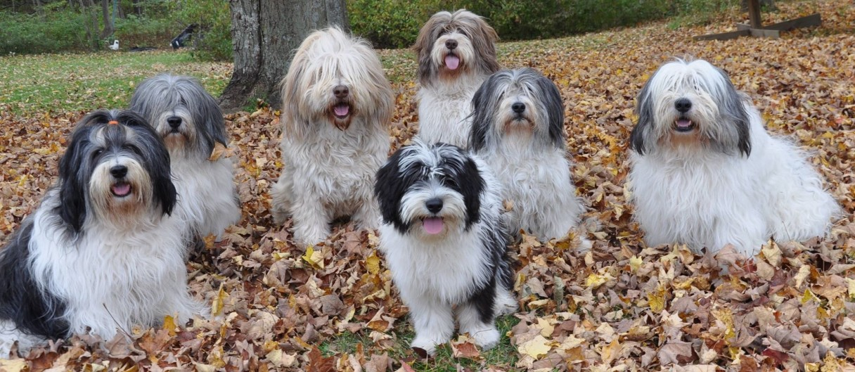 Polish Lowland Sheepdog,Border Terrier,PON,grooming,AKC,breed standard,Bearded Collie,Old English Sheepdog