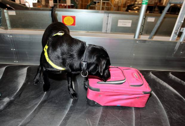 Labrador Retriever,sniffer dog,detection dog