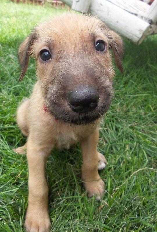 Irish Wolfhound,war dog,breed history