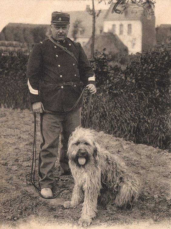 Bouvier des Flandres,world war, war dog