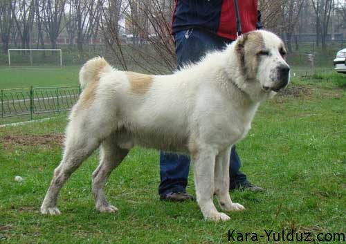 Central Asian Shepherd, Ovcharka,guardian dog, LGD, Livestock Guardian Dog,