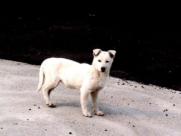 Korean Jeju Dog,Jindo,Jeju,Chaeju, Jeju Dog, JejuGae,Jeju Dog