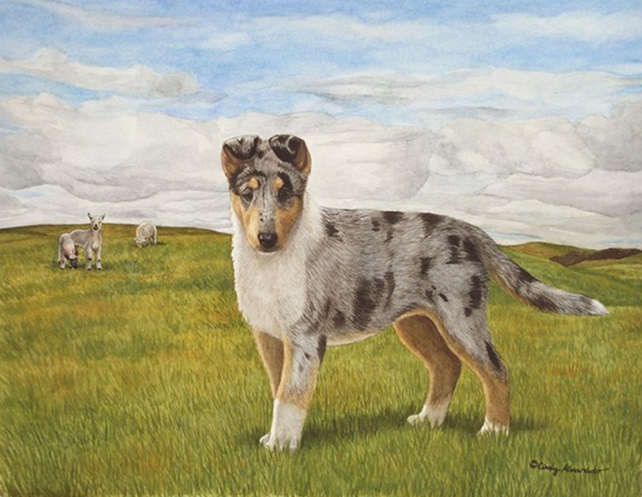 collie,coat,smooth collie,