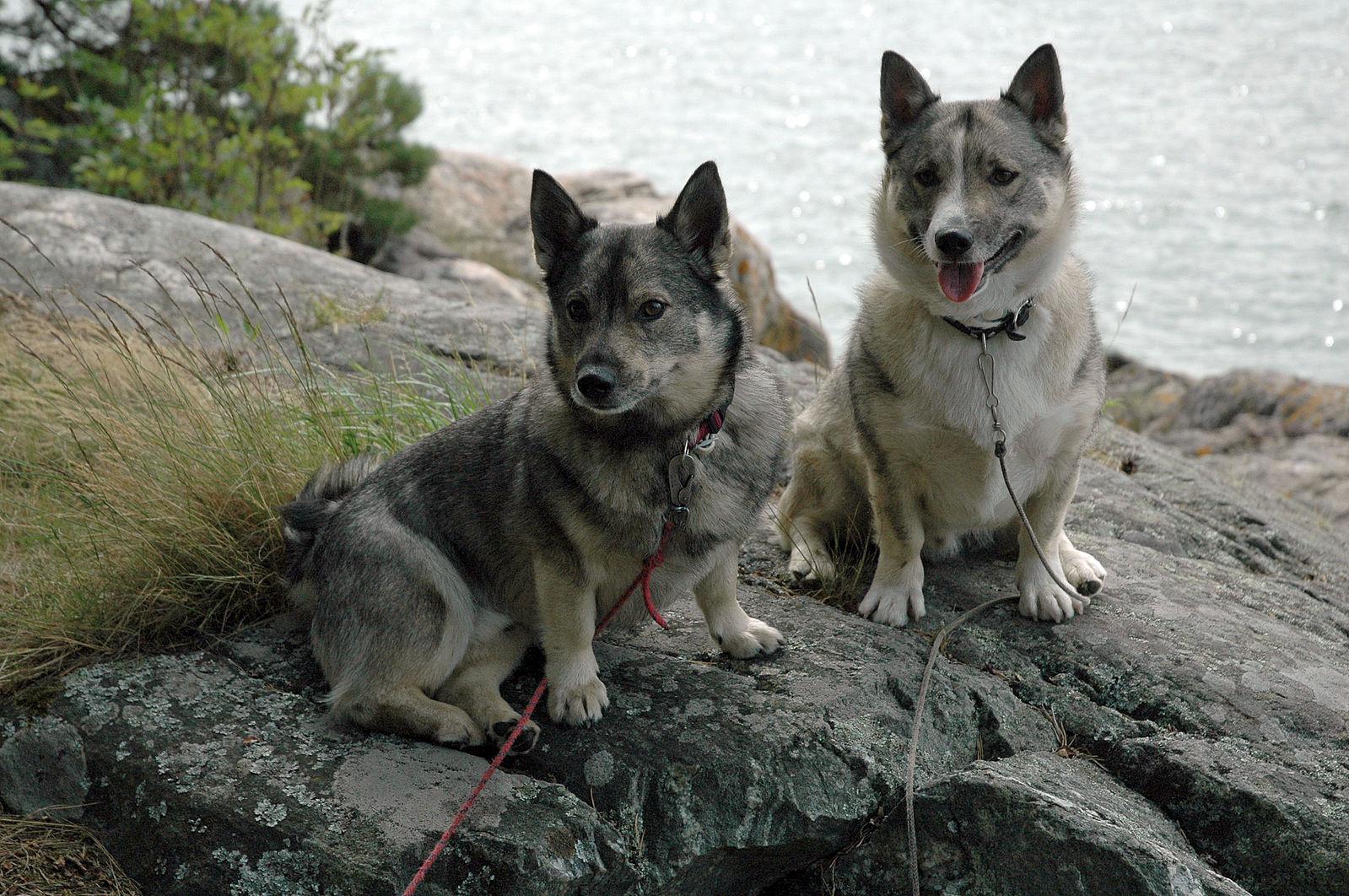 Swedish Vallhund,Vikings,Welsh Corgi,herding dog,sweden,
