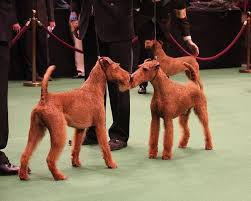 Irish Terrier,sparring, terrier,temperament