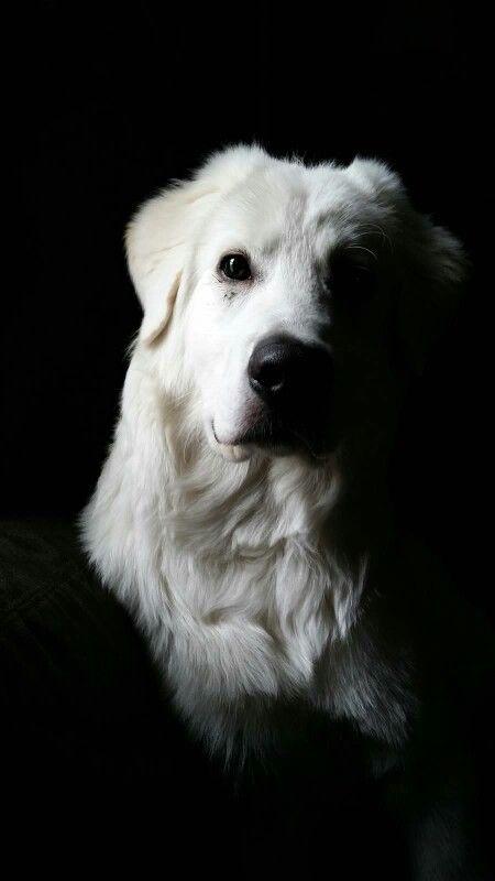 Livestock Guardian Dog,Maremma,sheepdog