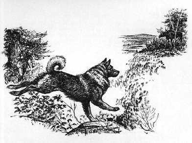 Norwegian Elkhound,gait,structure,movement