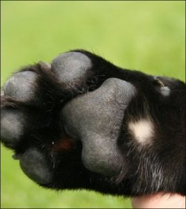 bolo,coat,color,marking,labrador retriever,feet,metacarpal/metatarsal pads