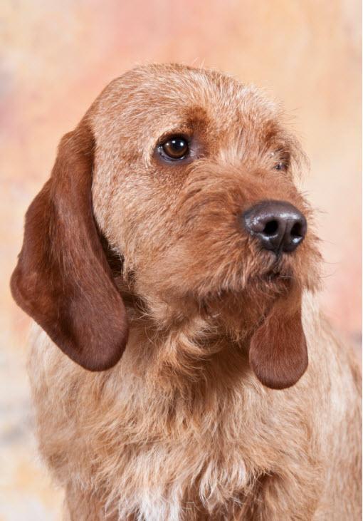Basset Fauve de Bretgne,short legged,hound,hunting dog,