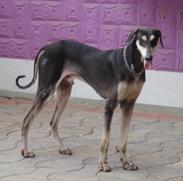 Kanni,sighthound,India